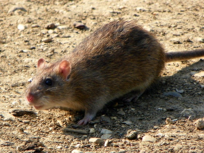 These Sewer Rats are fond of water and wet environments around Canberra homes.