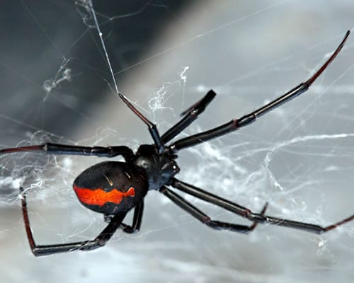 The Red-back Spider is a common sight in the Canberra region.