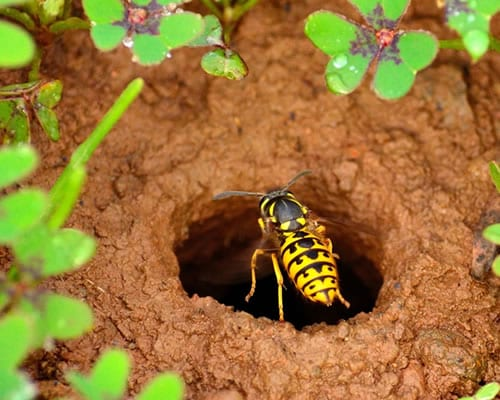 Paper Wasps can be a real issue around Canberra homes, call Armageddon Pest Control if you spot them nesting.