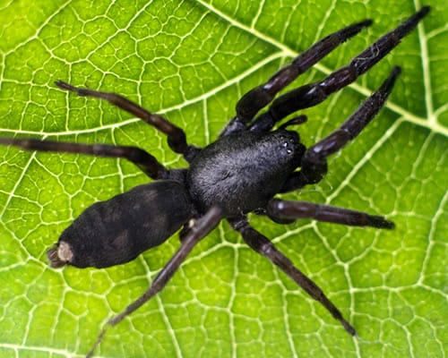 Australia is home to the White-Tail spider, a pesky critter we treat for.